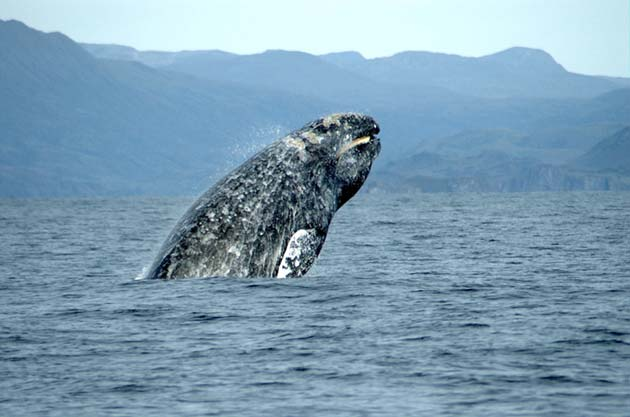 A breaching western gray whale. (Source: Wikimedia Commons)