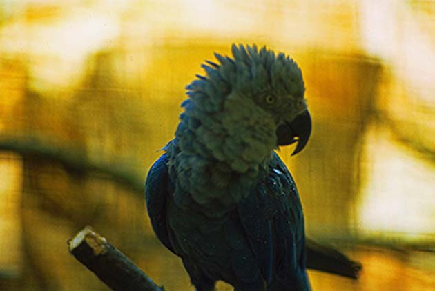 A captive Spix's macaw in the Walsrode Bird Park, photographed in 1982. (Source: Rüdiger Stehn @ flickr)