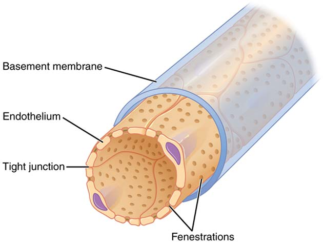 A diagram of a capillary with its basement membrane and endothelium. (Source: OpenStax College - Anatomy & Physiology, Connexions Website/Wikimedia Commons)