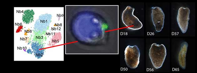 A genetic cluster analysis sorted the high-piwi cells into different groups. Nb2 cells were then isolated and transplanted into a fatally-damaged flatworm, which regenerated fully in about 65 days. (Source: A. Zeng, et al., 2018)