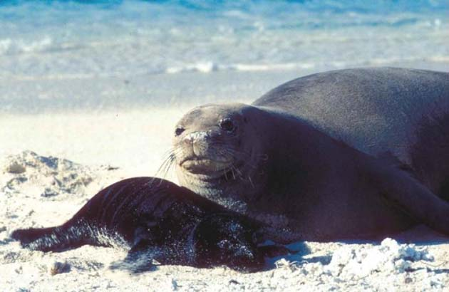 A monk seal and her pup relax as they normally would on the Hawaiian atoll beach. (Source: USFWS/pixnio.com)