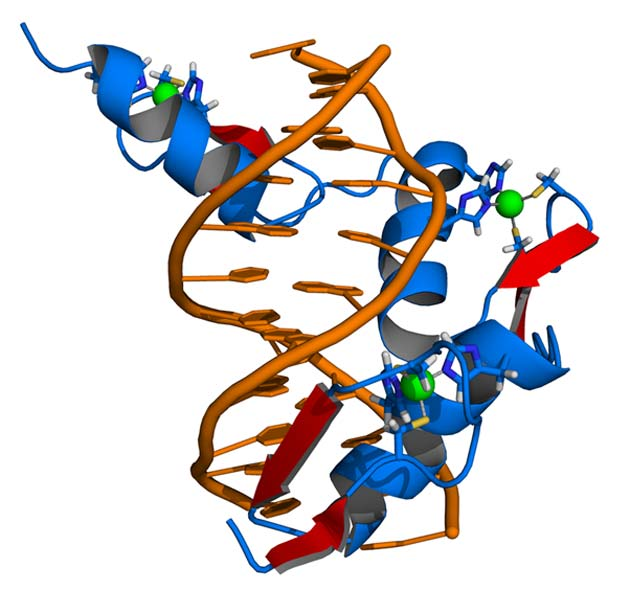 A simplified illustration of how zinc-finger protein domains interact with DNA. (Source: Wikimedia Commons)