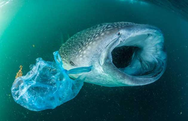 A whale shark swims beside a plastic bag in the Gulf of Aden near Yemen. (Source: National Geographic)