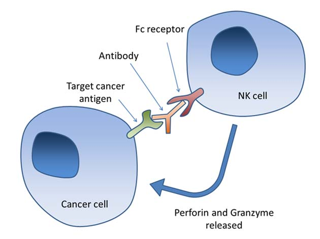 An example of how the immune response to malignant cells should ideally work (NK: natural killer) (Source: Wikimedia Commons)