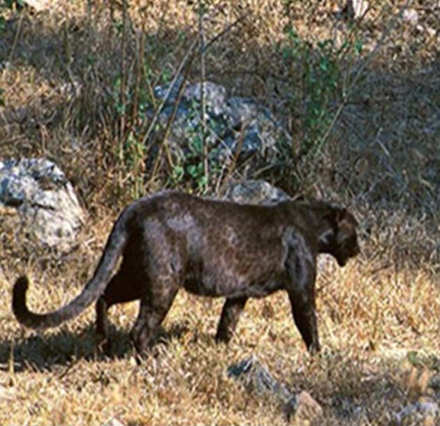 6496bff8f86fd Another black leopard with partial wild-type-like pigmentation. (Source:  Bruce