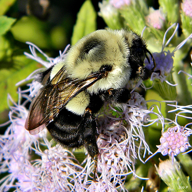 Bombus impatiens, the Eastern bumblebee, is also affected by viral pathogens. (Source: Bob Peterson @ flickr)