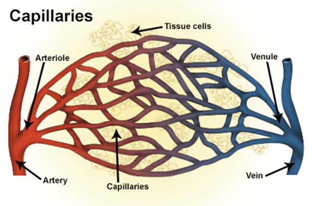 Capillaries provide the interfaces between the arterial and venous systems. Its loss may also lead to vasculopathic issues. (Source: National Cancer Institute, National Institutes of Health/Wikimedia Commons)