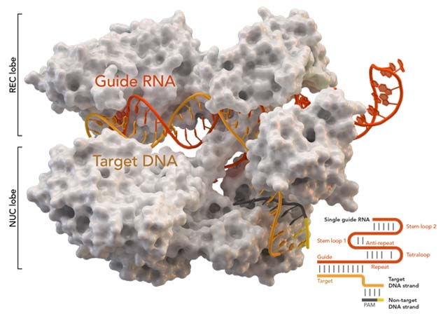 Cas9, the large protein central to gene silencing in CRISPR. (Image Source: Thomas Splettstoesser (SciStyle)/Wikimedia Commons)