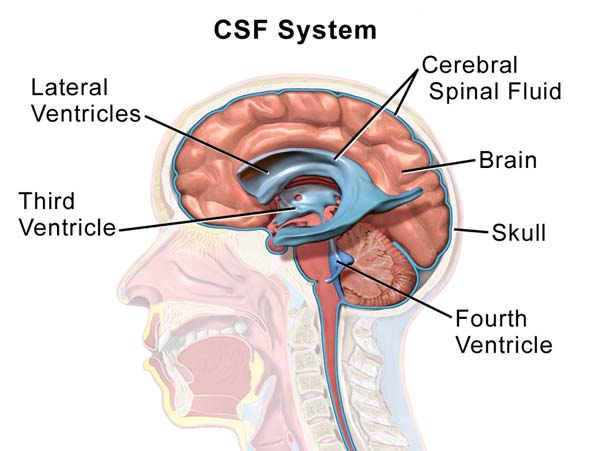 Cerebrospinal System.