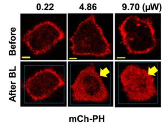 Imaging study showing the response of labelled PIP2 (mCh-PH) to ATR and BLE of increasing intensities. (Source: K. Ratnayake, et al., 2018)
