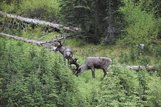 Just a few mountain caribou are left in the wild; they are nearly completely extinct. (Source: Cliff Razo)