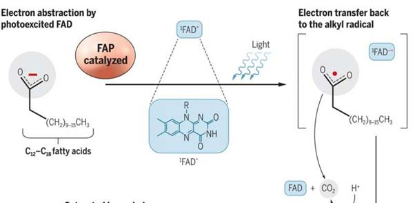 Light-activated enzymatic hydrocarbon production. Credit: (c) A. Kitterman / Science, DOI: 10.1126/science.aao4399