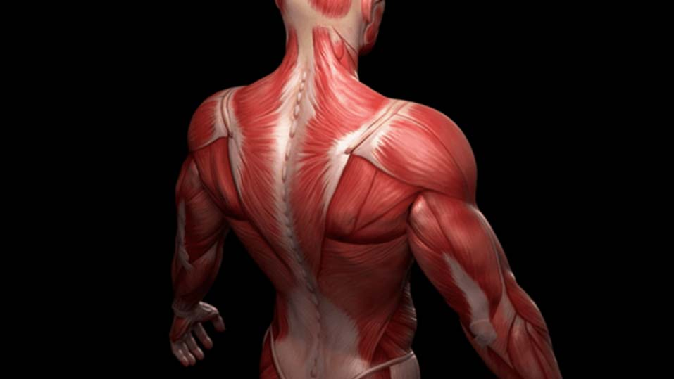 Long-term spaceflights can affect the human muscles (Source: TMR Research Blog)