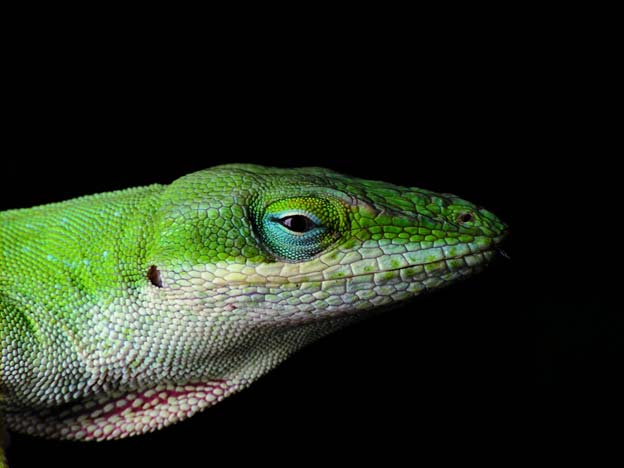 Male Carolina Anole with partially expanded dewlap.