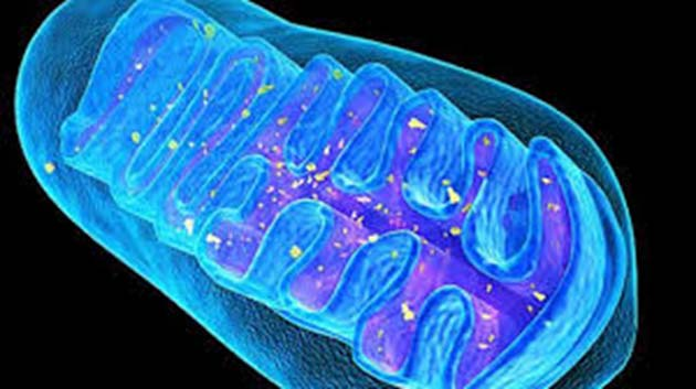 Mitochondria have been associated with senescence and aging. (Image Source: SAGE)
