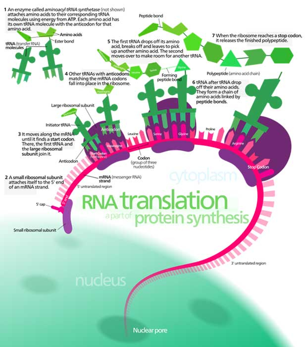 Overview of the translation of eukaryotic messenger RNA