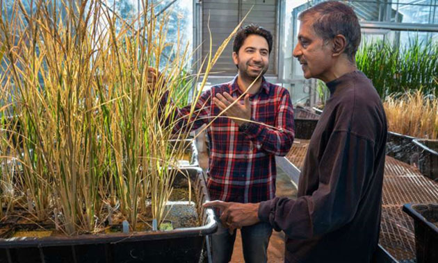 Prof. Venkatesan Sundaresan (right) and a colleague, Imtiyaz Khanday (left), with their cloned rice plants in the university greenhouse. (Source: UC Regents)