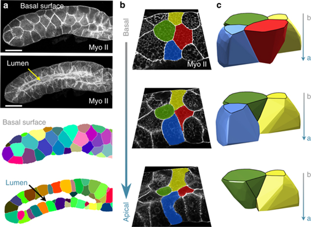SEM images processed to show cellular geometry showing cells of the new, scutoid shape making up a fruit-fly salivary gland. (Source: Credit: P. Gómez-Gálvez, et al., 2018)