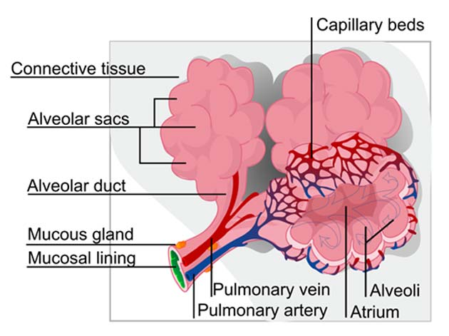 Schematic representation showing some of the lung's complicated microarchitecture. (Source: Public Domain)