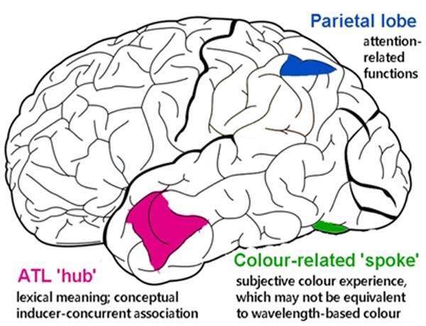 Scientists believe that certain regions of the brain are associated with color synesthesia. (Source: Wikimedia Commons)