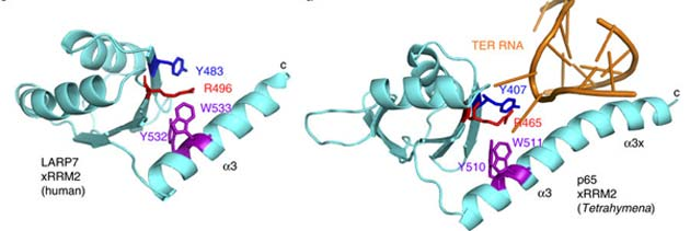 Some of the LARP7 and p65 protein structures, both of which exhibit xRRM2. (Source: A. K. Mennie, et al., 2018)