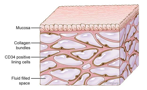Structure of the interstitium with its different layers — mucosa, collagen bundles and fluid-filled spaces (Source: Public Domain)
