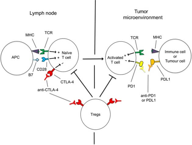 The basic mechanism by which tumors keep 'active' T-killer cells away from them. (Source: M. J. Smyth et al, 2018)