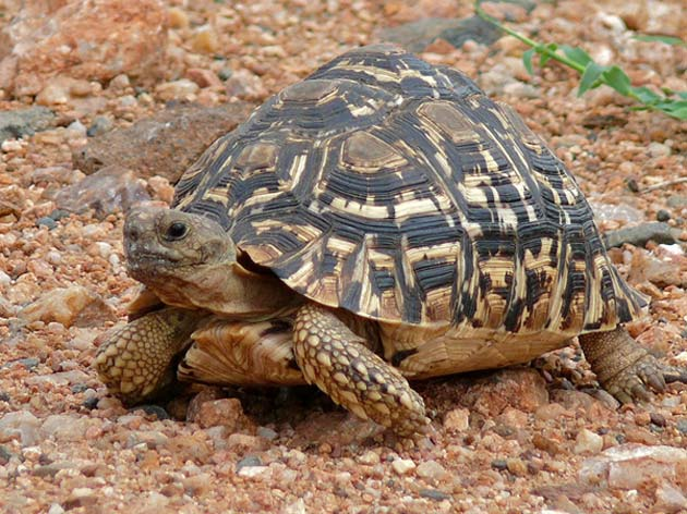 The capsule's shape was based on the shell of the leopard tortoise (Stigmochelys pardalis), which allows the animal to passively re-orient itself. (Source: Bernard Dupont/Flickr)