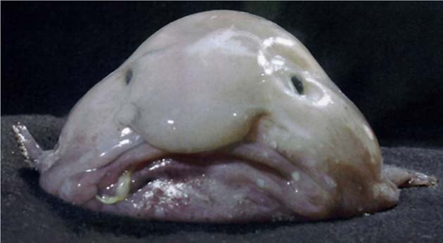 The research team found blobfish. (Source: James Joel/Flickr)