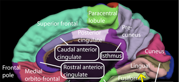 The rough location of the relevant brain area, within the MFC, related to error recognition. (Source: Public Domain)