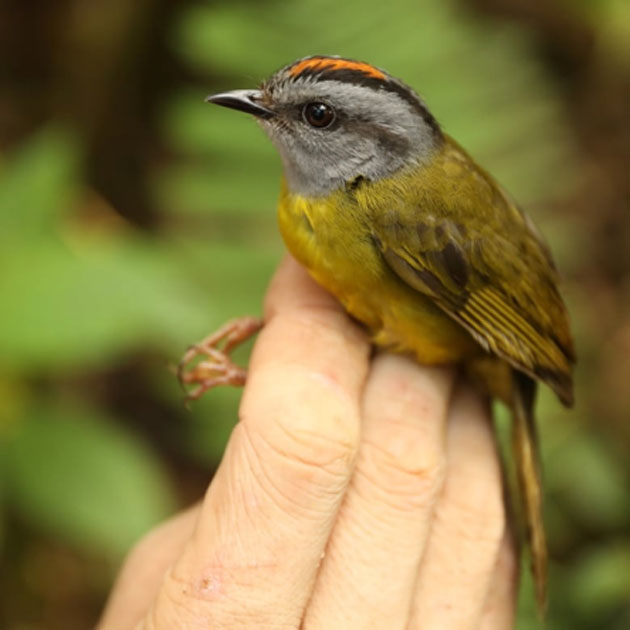 The russet-crowned warbler inhabits high elevations in Peru. Eight other similar species found in a previous survey in 1985 could not be found during a more recent survey. (Source: Graham Montgomery/University of Connecticut, CT)