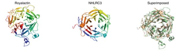 The structure of royalactin compared to that of NHLRC3. (Source: D.C. Wan et al, 2018)