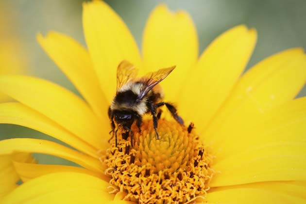 We think of bees as loud insects, but does that mean anything to a flower? (Source: pxhere.com)