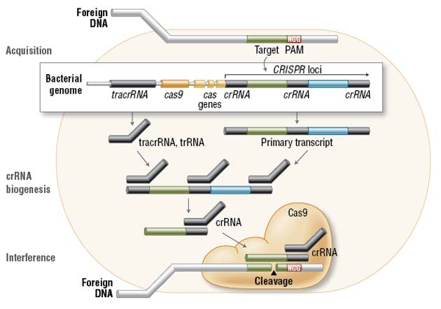 In the acquisition phase, foreign DNA is incorporated into the bacterial genome at the CRISPR loci. CRISPR loci is then transcribed and processed into crRNA during crRNA biogenesis. During interference, Cas9 endonuclease complexed with a crRNA and separate tracrRNA cleaves foreign DNA containing a 20-nucleotide crRNA complementary sequence adjacent to the PAM sequence. (Figure not drawn to scale.)