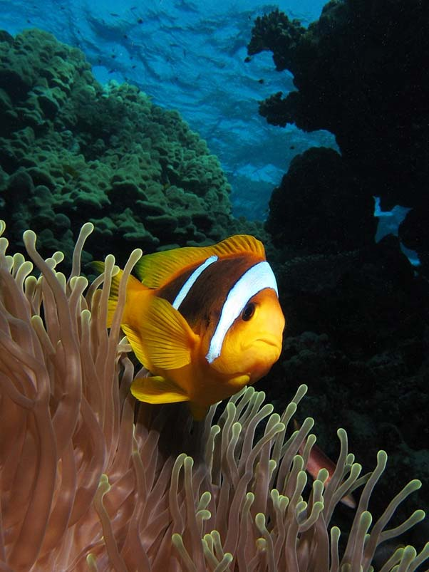 Twoband anemonefish in the Red Sea