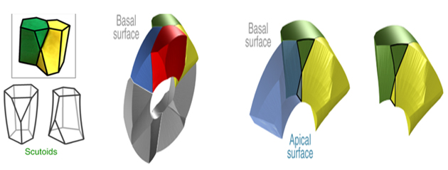 The basic geometry of scutoids, and a model of how four separate cells (highlighted in different colors) may interface to form a 3D curve. (Source: P. Gómez-Gálvez, et al., 2018)
