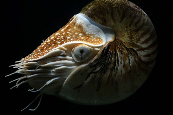 A big nautilus