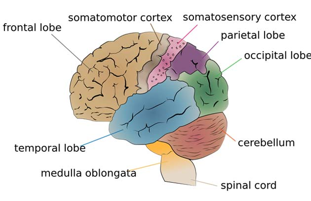 The cerebellum is largely responsible for coordinating the unconscious aspects of proprioception.