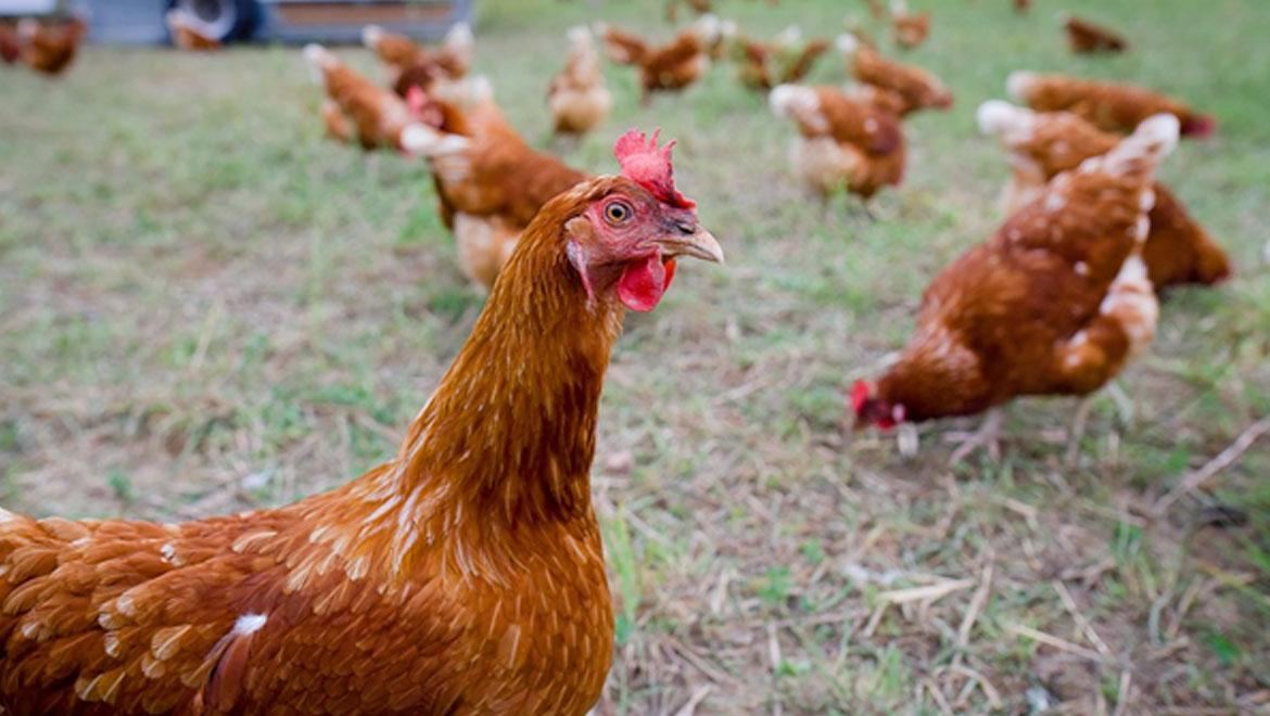 Battery Pharma: Can Genetically Modified Chickens Really Produce Viable Medicines?