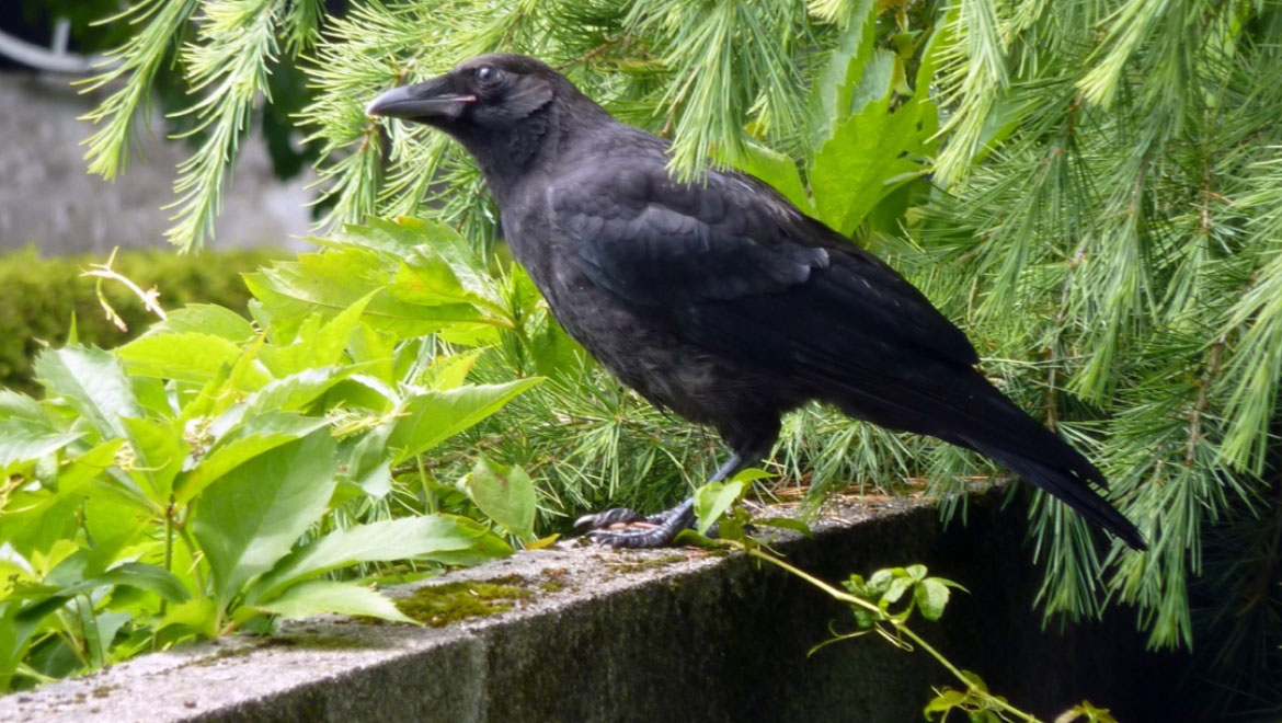 New Caledonian Crows Can Craft Compound Tools, Just Like Higher Primates