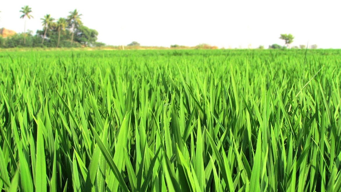 CRISPR-Engineered Hybrid Rice Plants Can Now Clone Their Own Seeds