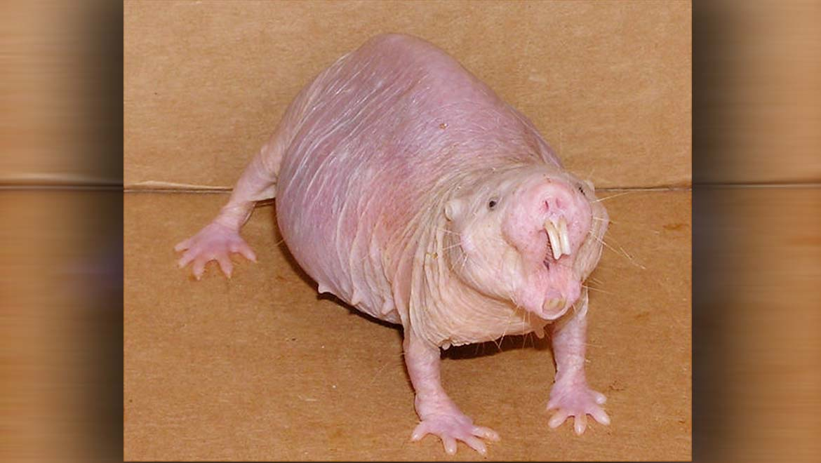 """Ageless Animals: New Report Confirms Naked Mole-Rats are World's First Known """"Non-Aging"""" Mammals"""