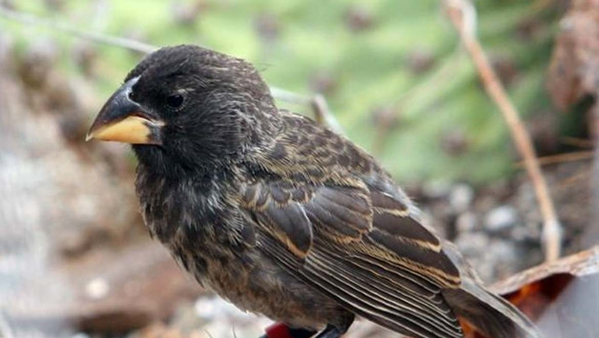 Rapid Evolution On The Galapagos Islands Leads To A New Species Of Finch