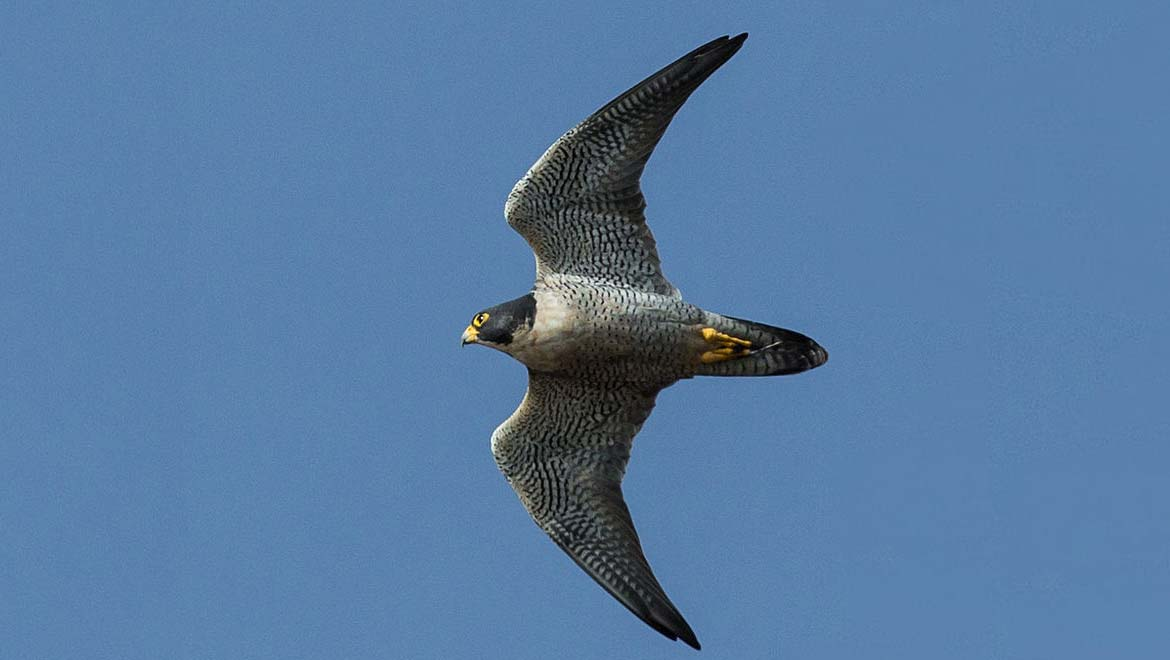 Peregrine Falcons: Inspiring Our Future Flight | Evolving ...