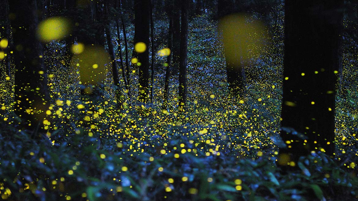 Time lapse photo of Japanese fireflies.