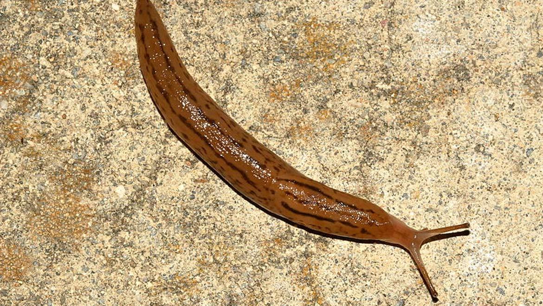 New Medical Glue Using Slug Slime Could Be A Game-Changer