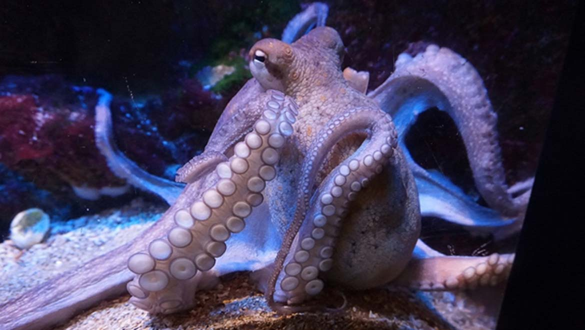 New Clues Revealed Into The Strange Evolution Of Octopus And Squid