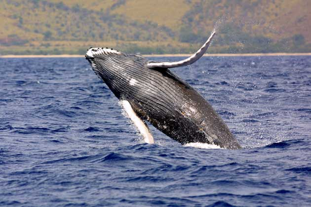 Many humpback whales were reported to visit the new seamounts. (Source: Public Domain)