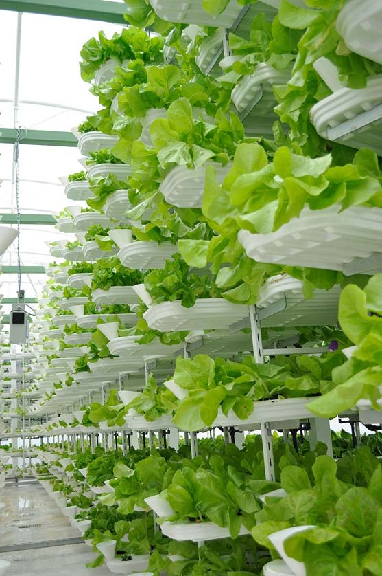 Lettuce grown in indoor vertical farming system.
