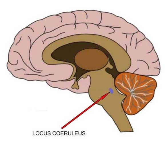 Diagrammatic representation of the locus coeruleus of the brain that could be responsible for Alzheimer's. (Source: Neuroscientifically Challenged)